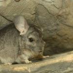 小動物チンチラの平均寿命ってどれくらい!?