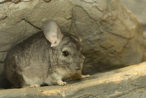 小動物 チンチラ 寿命 シルバー