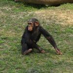 チンパンジーの手と足の特徴について