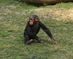 チンパンジー 手 足 特徴
