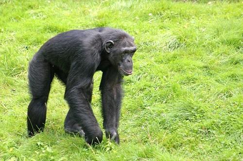 チンパンジー 肉食 草食