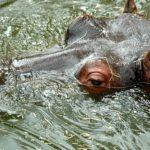 カバって水中で呼吸できるの?どれくらいの時間いられる?