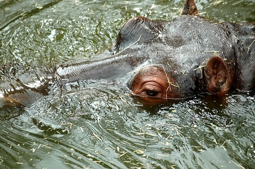 カバ 水中 呼吸