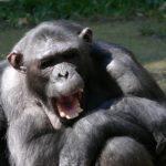チンパンジーと人間の共通点や違いってどこ!?