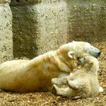 ホッキョクグマの出産の時期について