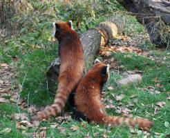 レッサーパンダ 野生 生態
