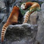 レッサーパンダのしっぽの色や特徴!シマシマなのはなぜ!?