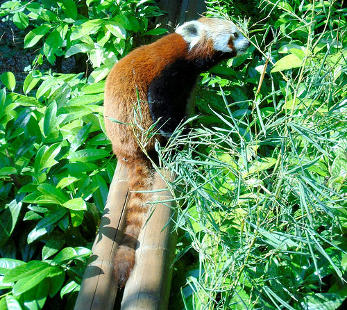 レッサーパンダ 寿命 平均