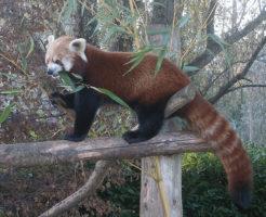 レッサーパンダ 日本 動物園 飼育数