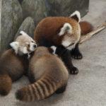 レッサーパンダの赤ちゃんの鳴き声ってどんな鳴き声なの!?
