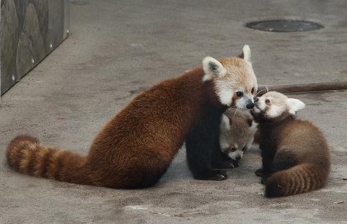 レッサーパンダ 赤ちゃん 特徴 色