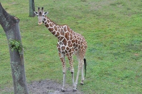 キリン 頸椎 大きさ