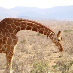 キリンの網目状の模様には大きな意味が!驚きの事実!