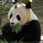 パンダとレッサーパンダの違いって一体何!?