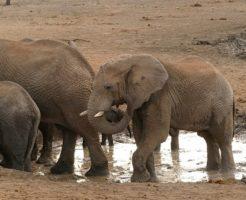 アフリカゾウ 寿命