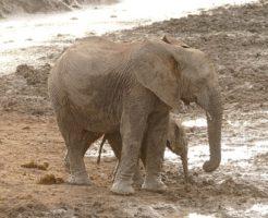 アフリカゾウ 赤ちゃん 大きさ