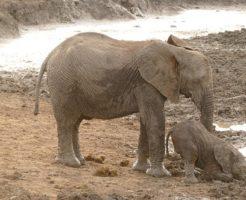 アフリカ象 インド象 違い 大きさ