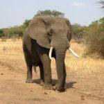 アフリカゾウのオスとメスの違いについて