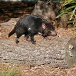 タスマニアデビルってどんな動物?生態についてのまとめ