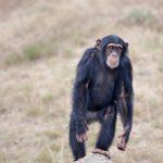 野生のチンパンジーって日本に生息しているの!?