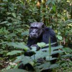 野生のチンパンジーは何を食べているの!?