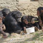 チンパンジーの凶暴性について!大人になると凶暴になる?
