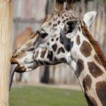 キリンの舌はどうしてあんなに長いの!?収納方法は!?