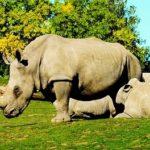 シロサイってどんな動物?大きさや生態について