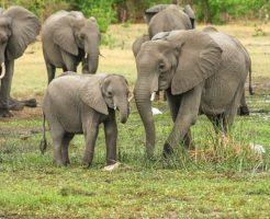 アフリカゾウ 群れ