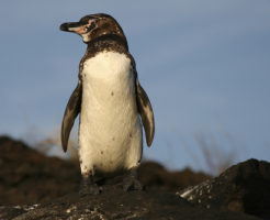 ガラパゴスペンギン 個体数