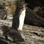 ガラパゴスペンギンの生息地ってどこ!?