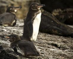 ガラパゴスペンギン 生息地