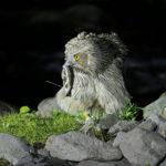 絶滅危惧種シマフクロウの減少の原因は何!?