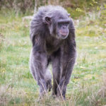 エイズ発症の起源はチンパンジーからだった!?
