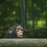 チンパンジーとニホンザルの違いについて