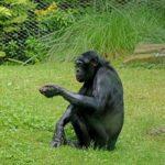 ボノボとゴリラの違いについて。どんな性格なの!?