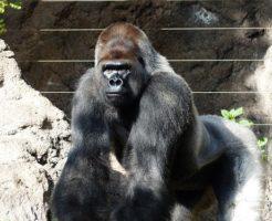 マウテンゴリラ 日本 動物園