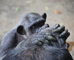 チンパンジー 行動 意味