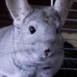 チンチラの耳に斑点ができたときの原因は!?