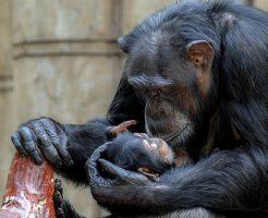 野生 チンパンジー 共食い なぜ