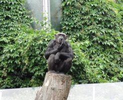 チンパンジー 知能 何歳