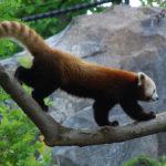 レッサーパンダのオスメス性別の見分け方について