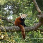 レッサーパンダの生息地は!?日本に野生のレッサーパンダは生息しているの?