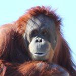 オランウータンとチンパンジーの違いについて