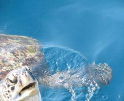 ウミガメ 生息地 日本 見られる