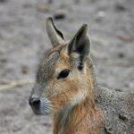 絶滅危機の動物マーラの名前の由来や英語の読み方について
