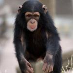 チンパンジーってペットにできるの!?値段はどれくらい?