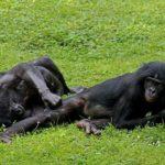 ボノボの鳴き声の特徴や鳴く意味について