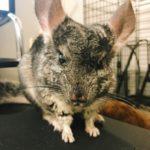 チンチラの飼育で気をつけるべき病気の症状とは?