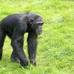 チンパンジーって肉食なの!?草食なの!?
